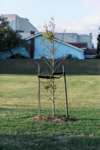 A sapling being supported by two stakes