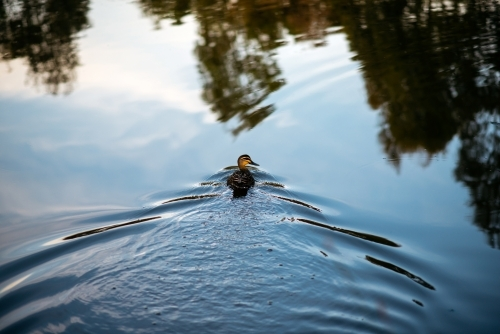 A single duck swims across a pond leaving water ripples behind it