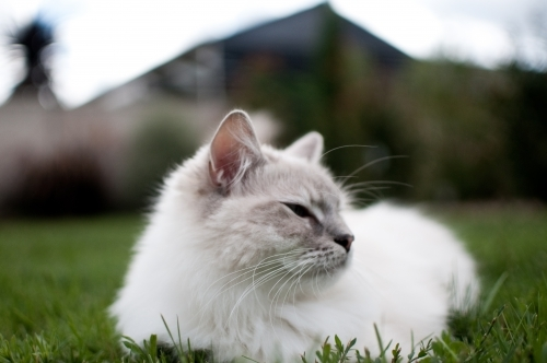 Ragdoll cat resting in the grass
