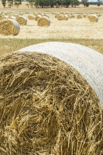 Circular hay bales drying out in a paddock