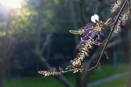 A branch from a lavender bush is highlighted by the sun