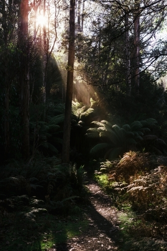 Early morning sun filtering into the Tasmanian forest