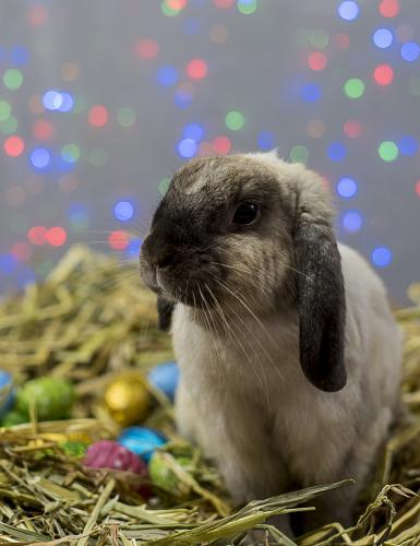 Easter Bunny Rabbit sitting in straw nest with easter eggs with colourful lights in background