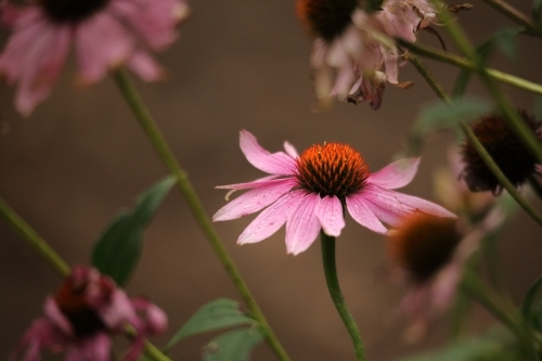Echinacea purpurea is a North American species of flowering plant in the sunflower family