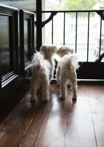Pair of little white maltese terriers waiting patiently at the front door