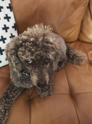 Brown toy poodle looking up at camera from the sofa
