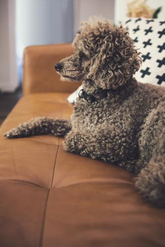Toy poodle sitting on a tan leather sofa in a contemporary living room