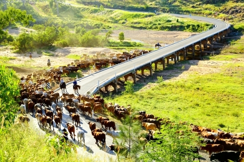 Stockmen and women divert a mob of cattle away from bridge