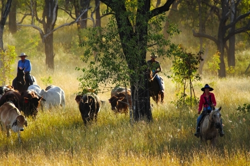 A girl in her twenties and two mature men mustering cattle in thick grass near Eidsvold