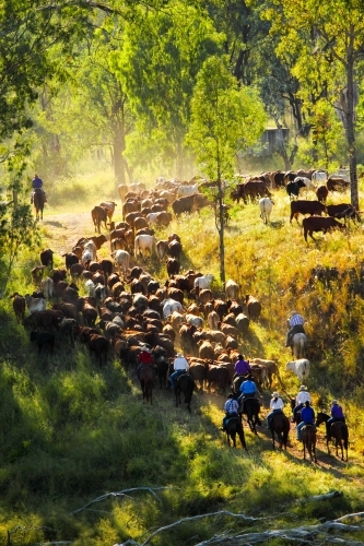 A group of horse riders muster a mob of cattle up a river bank