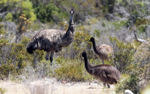 Emu with her chicks