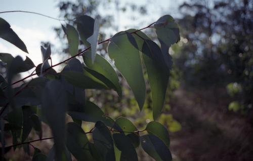 Eucalyptus gum leaves in the bush with low light