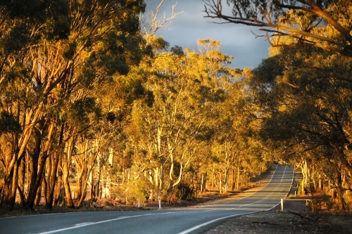 Evening light through trees along country road