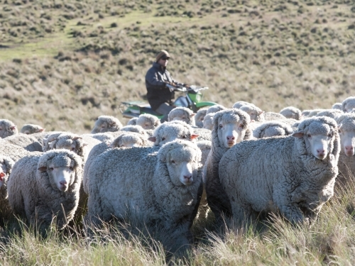 Farmer mustering merino fine wool sheep on a motorbike