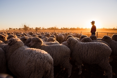 Farmer overlooking pen of merino sheep
