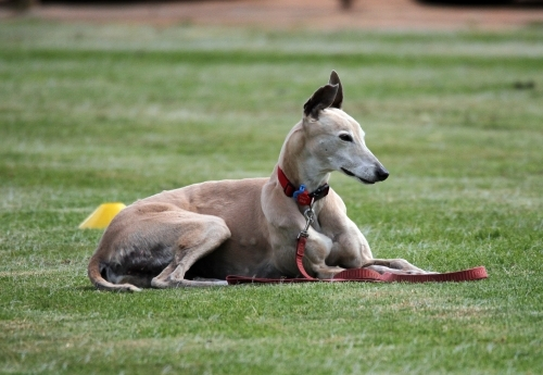 Fawn Greyhound relaxing on a oval