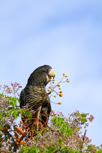 Female Red-tailed Black-Cockatoo feeding on a chinaberry tree.