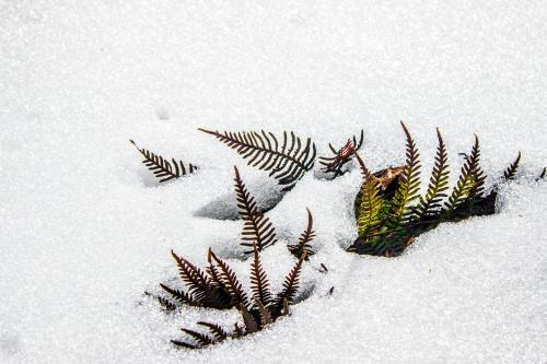 Ferns poking through a layer of snow