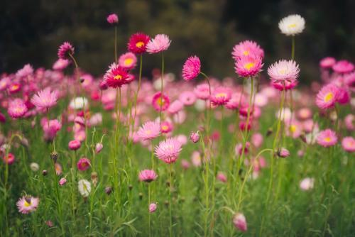 Field of everlasting paper daisies in spring