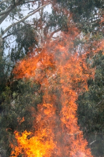 Flames from bonfire in front of gum tree