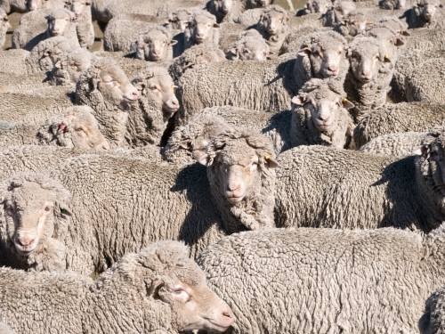 Flock of merino sheep filling the full frame