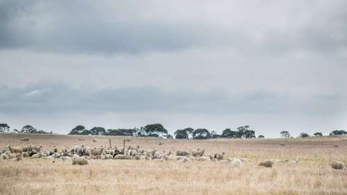 Flock of sheep in a paddock