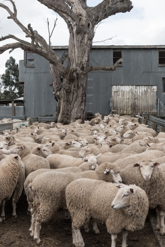 Flock of sheep ready to be shorn on shearing day