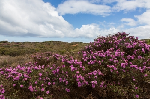 Flowering heathland at madfish bay