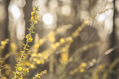 Flowering scrubland native wattle bush in the morning