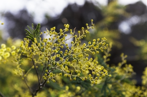 Flowering Wattle Tree