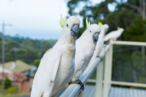 Four sulphur crested cockatoos lined up on a suburban balcony