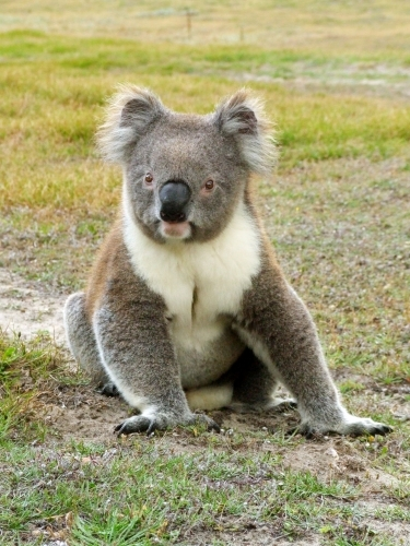 Koala sitting on the ground in a clearing