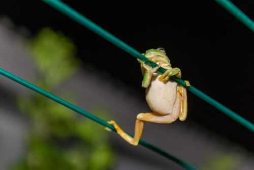 Frog hanging on clothes line