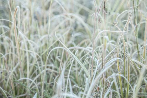 Frost covered grass