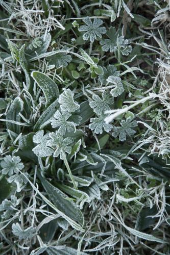 Frost covered weeds on the lawn