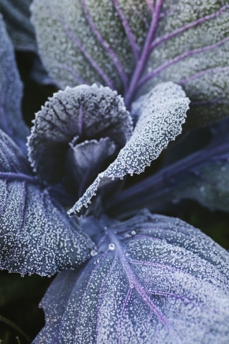 Frost on purple cabbage leaves