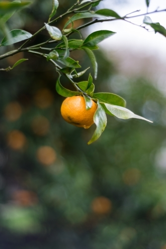 Fruit on mandarin tree