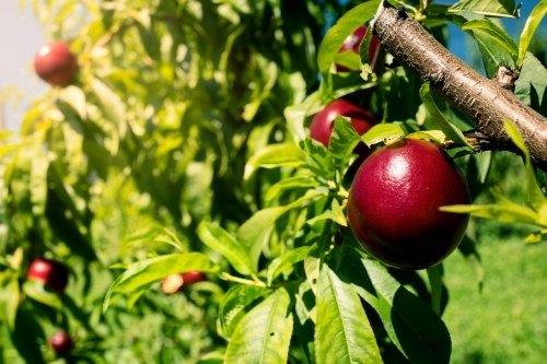 Ripe nectarines growing on a tree in an orchard farm