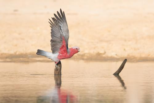 Galah Taking Off After Drink