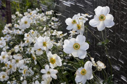 Garden bed of japanese anemone being wet by a sprinkler