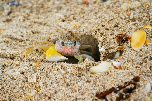 A ghost crab on the edge of its sandy burrow