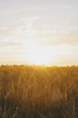 Glowing wheat stalks in the field with sun setting in the background