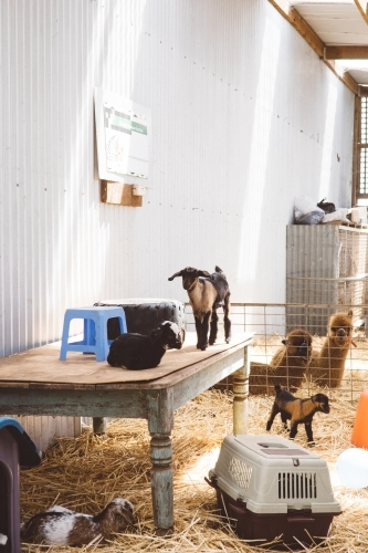 Goats on show at country showground