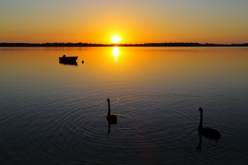 A pair of Black Swans silhouetted on water at golden sunrise