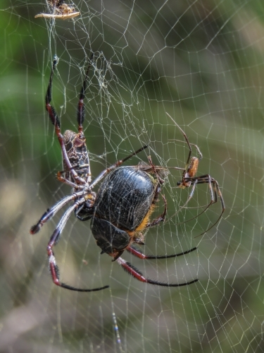 Golden orb weaving spider with prey