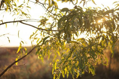 Golden sunrise through gum branches and leaves