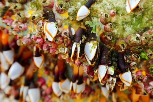 Gooseneck barnacles on a marine buoy that washed ashore at Yamba