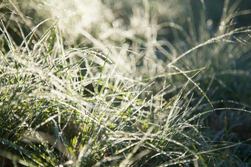 Grass sparkling with frost and dew in the morning light