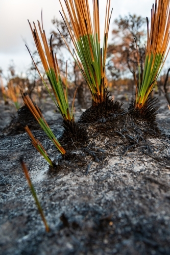 Grass tree plants showing regrowth two weeks after a bush fire