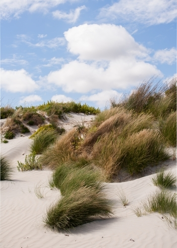 grasses blowing in the breeze on a coastal sand dune